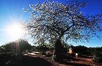 Toborochi tree in Bloom, Yapiroa, Charagua, Bolivia
