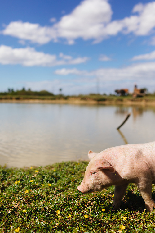 Pig walks in Vinales, Cuba