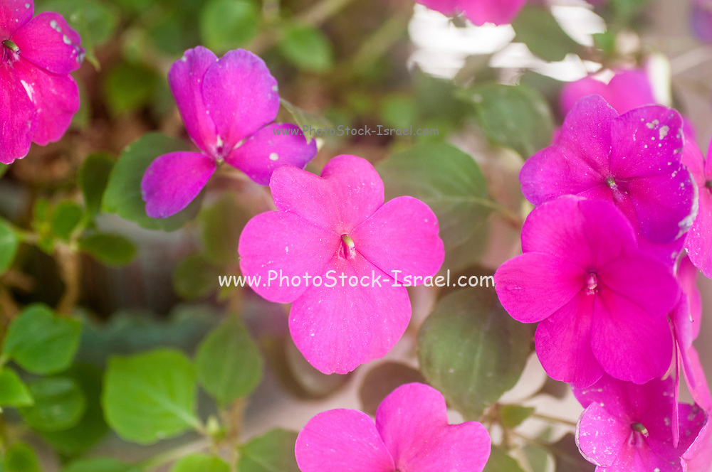 Flowering Busy Lizzies (Impatiens walleriana). in a garden in April.