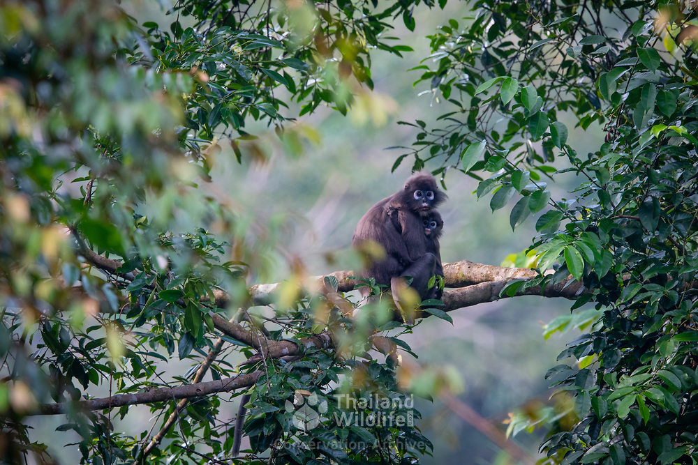 The dusky leaf monkey, spectacled langur, or spectacled leaf monkey (Trachypithecus obscurus) is a species of primate in the Cercopithecidae family. Here photographed in the Hala Bala Wildlife Sanctuary, Thailand.