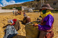 Threshing barley during the harvest, Gonggar, Lhoka (Shannan) Prefecture, Tibet (Xizang), China