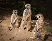 Meerkats at the San Diego Zoo