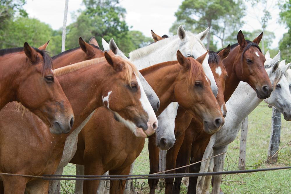 Pantaneiro horses at Araras Eco Lodge (Pantanal, Mato Grosso, Brazil)