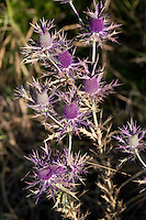 Eryngo, (Eryngium leavenworthii), Kimble County, Texas