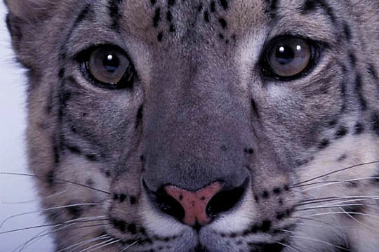 Snow Leopard, (Panthera uncia) Close up of eyes. Inhabits high mountains of Asia.    Captive Animal.