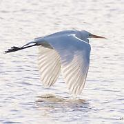 Flying Egret, Tomales Bay, California