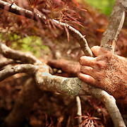 A man prepares to wrap a Japanese Maple tree's rootball in burlap so the tree can be transplanted.