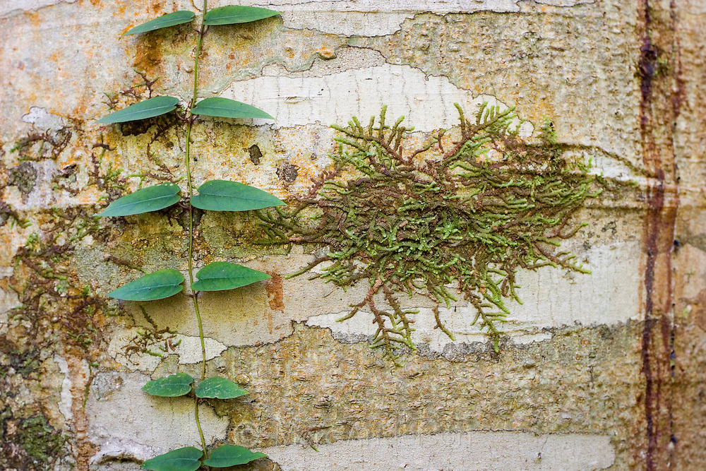 A small green vine and lichen growing on the bark of a tree, Royal National Park, Australia