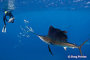 Takako Uno photographs Atlantic sailfish, Istiophorus albicans, attacking bait ball of Spanish sardines (aka gilt sardine, pilchard, or round sardinella ), Sardinella aurita, off Yucatan Peninsula, Mexico ( Caribbean Sea ) MR 402