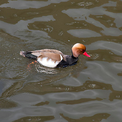 Pato-de-bico-vermelho (Netta rufina) fotografado na Alemanha. Registro feito em 2019.<br /> ⠀<br /> ⠀<br /> <br /> <br /> <br /> <br /> <br /> ENGLISH: Red-crested pochard photographed in Germany, in Europe. Picture made in 2019.
