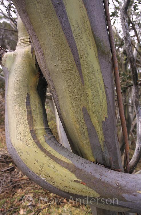Snow Gum branches, Eucalyptus pauciflora, Alpine National Park, Australia.