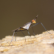 Neriidae is a family of true flies (Diptera) commonly known as banana stalk flies or stilt-legged flies.
