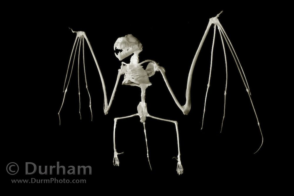 The skeletal structure of a big brown bat (Eptesicus fuscus).