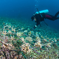 Replanting Coral on damaged reef near Pom Pom island, Sabah, Borneo, East Malaysia, South East Asia