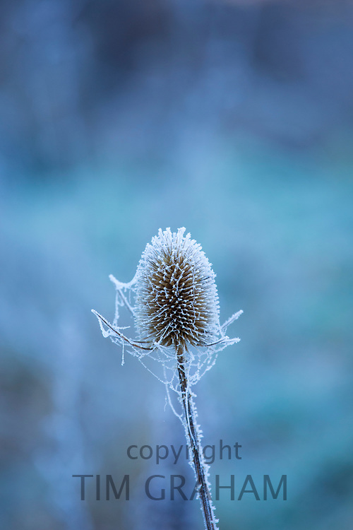 Hoar frost on the seed head of Teasel - Dipsacus - wildflower  in the Cotswolds, England, UK