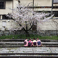 April 9,2016-Kyoto,Asian  tourist wearing traditionnal kimonos  walk under cherry blossom. In japan government promote  traditionnal culture for tourists, during one week cherry blossoms show their beauty  mark the splendor of  ephemerical flower lives. Pierre Boutier