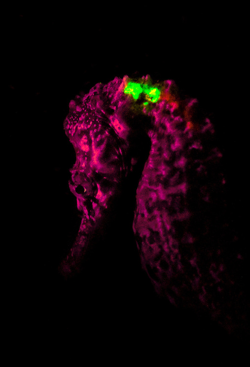 Dr. Heather Mason-Jones uses a black light to check whether the seahorse has been tagged. The yellow and pink splotches near the top of the fish indicate this is a tagged seahorse.