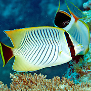 Chevroned Butterflyfish inhabit reefs. Picture taken Palau.