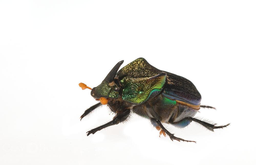 Rainbow Scarab (Phanaeus vindex)
