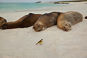 Galapagos sea lion (Zalophus californianus) resting on the beach of Espanola Island, Galapagos Archipelago - Ecuador.