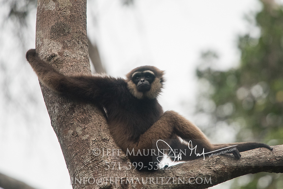 An Agile gibbons, an arboreal primate, rests in a tree in the forest of Tanjung Puting National Park, Indonesia.