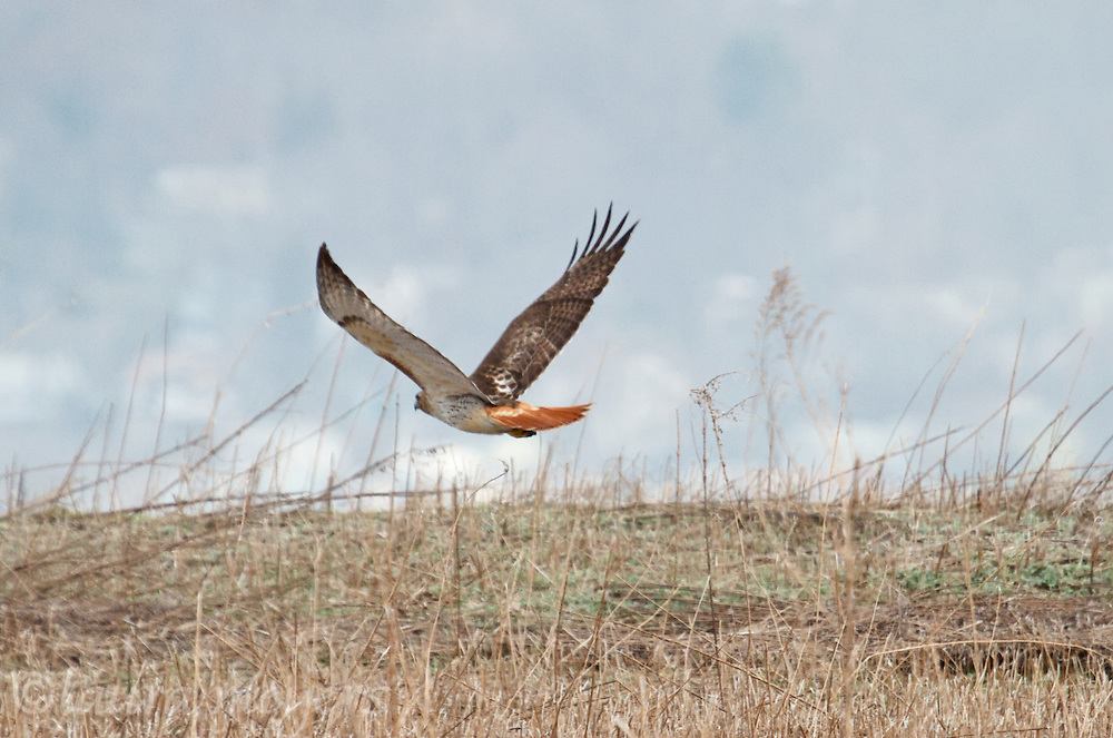 Red-tailed Hawk in flight over field, Red-tailed Hawk in flight over landfill at the Croton Point Park,