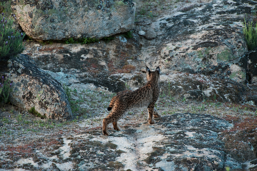 Iberian Lynx (Lynx pardinus) one year old female <br /> Sierra de And&uacute;jar Natural Park, Mediterranean woodland of Sierra Morena, north east Ja&eacute;n Province, Andalusia. SPAIN<br /> RANGE: Iberian Penninsula of Spain &amp; Portugal.<br /> CITES 1, CRITICAL - DANGER OF EXTINCTION<br /> Fewer than 200 animals in the wild. There is a reduced genetic variability due to their small population. They have suffered due to hunting, habitat loss and road accidents, but the most critical threat today is the reduced numbers of wild Rabbits (Oryctolagus cuniculus) within the lynx's range. The rabbits are the principal food source of the lynx and they are suffering from deseases such as Myxomatosis &amp; Rabbit haemoragic virus. The lynx is also suffering from deseases such as feline leukaemia<br /> A medium sized cat weighing 12-15kgs, Body length 90cm, Shoulder height 45-50cm. They have a mottled fur pattern, (3 varieties of fur pattern found between the different populations and distinguishing them geographically)  short tail, ear tufts and are bearded. They are territorial cats although female cubs have been found to share their mother's territory. Mating occurs in Dec/Jan and cubs born around April. They live up to 13 years.<br /> <br /> Mission: Iberian Lynx, May 2009<br /> &copy; Pete Oxford / Wild Wonders of Europe<br /> Zaldumbide #506 y Toledo<br /> La Floresta, Quito. ECUADOR<br /> South America<br /> Tel: 593-2-2226958<br /> e-mail: pete@peteoxford.com<br /> www.peteoxford.com