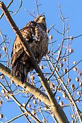 Juvenile Bald Eagle -  Haliaetus leucophalus sitting in a tree