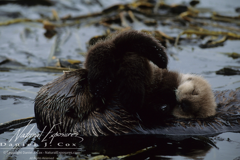 Sea Otter mother grooming her baby in a kelp bed. Adak Island, Aleutian Islands, Alaska