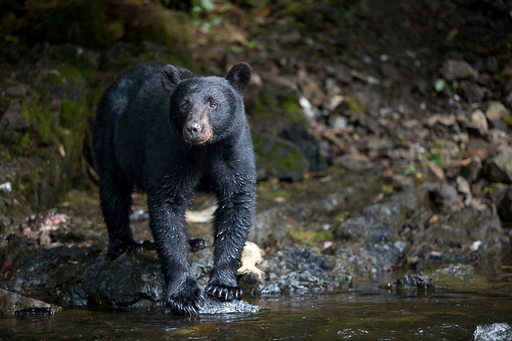 USA, Alaska, Kake, Black Bear (Ursus americanus) hunting along Gunnuk Creek during salmon spawning season