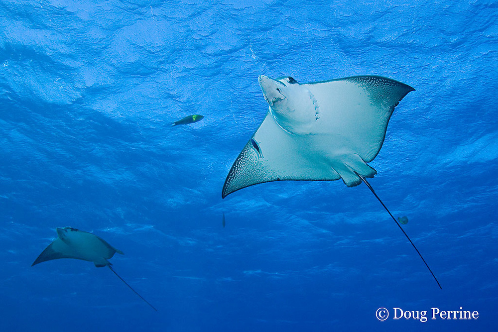 spotted eagle rays, Aetobatus narinari, Ice Cream bommie, Saipan, Commonwealth of Northern Mariana Islands, Micronesia ( Western Pacific Ocean )