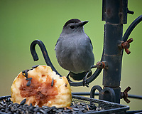 Gray Catbird. Image taken with a Nikon D5 camera and 600 mm f/4 VR telephoto lens (ISO 1600, 600 mm, f/5.6, 1/1000 sec).