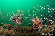 red lionfish, firefish, turkeyfish, or butterfly cod, Pterois volitans, on the wreck of the Seian Maru, a Japanese cargo vessel sunk by Allied air strike on Nov. 19, 1944; the wreck lies on its port side at a depth of 25 m near Alava Pier in Olongapo Harbor, Subic Bay, Philippines