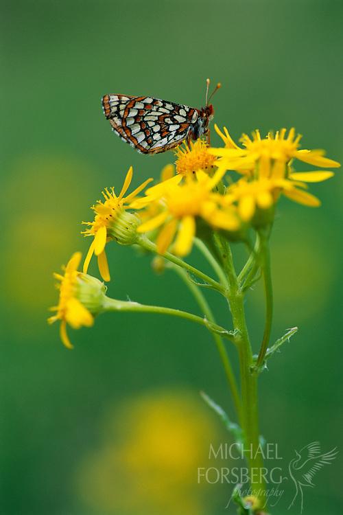 A butterfly lands on a yellow flower.  Sioux county, Nebraska.