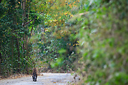 Rear view of Indochinese Leopard (Panthera pardus delacouri) walking along road. Kaeng Krachan National Park. Thailand.