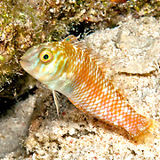 Green Razorfish inhabit shallow areas of sand and rubble in Tropical West Atlantic; picture taken Little Cayman.