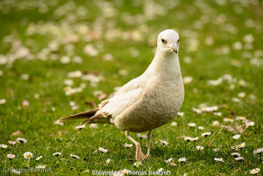 The Mew Gull turned and looked right at me before resuming its search for food in the grass.