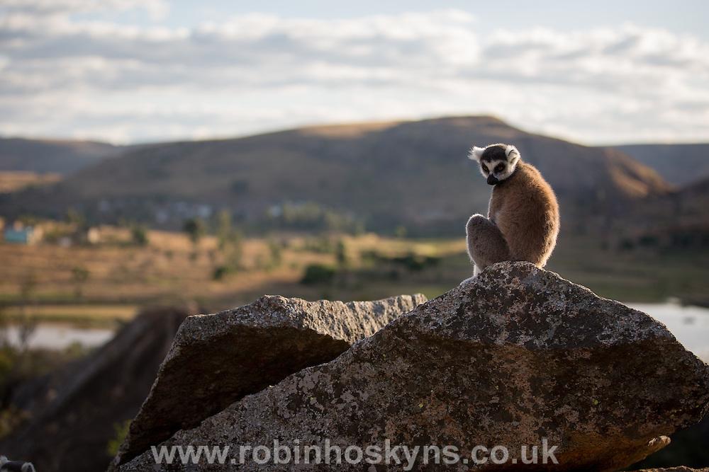 Ring-Tailed Lemur sunning on the rocks at Anja Community Reserve near Fianarantsoa, Madagascar