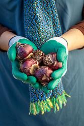 Using gloves to handle hyacinth bulbs