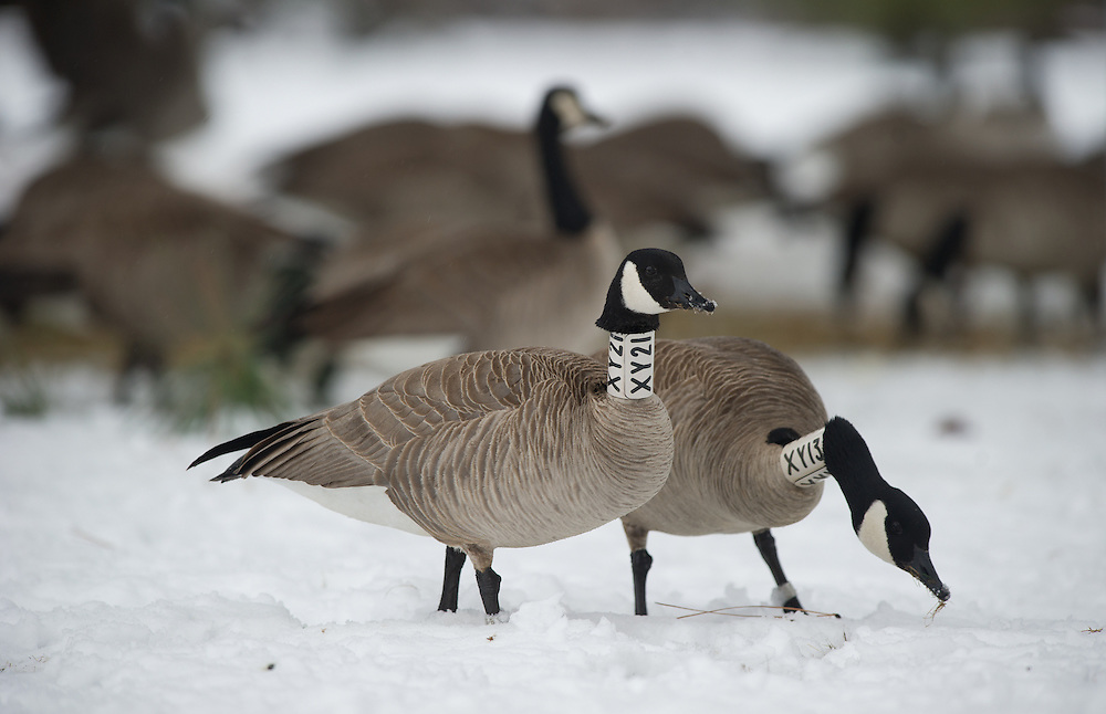 collared geese feeding in a snow covered field.