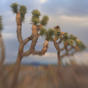 Joshua Trees Awaiting Storm - Lensbaby