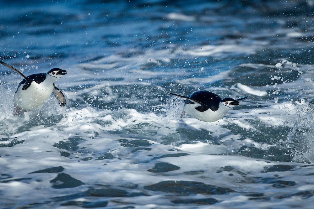Antarctica, South Shetland Islands, Two Chinstrap Penguins (Pygoscelis antarcticus) porpoising through breaking waves toward beach at Bailey Head on Deception Island