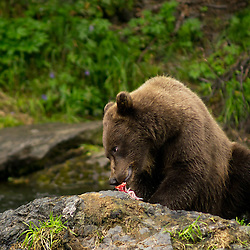 A young Kenai National Wildlife Refuge brown bear with freshly caught salmon.