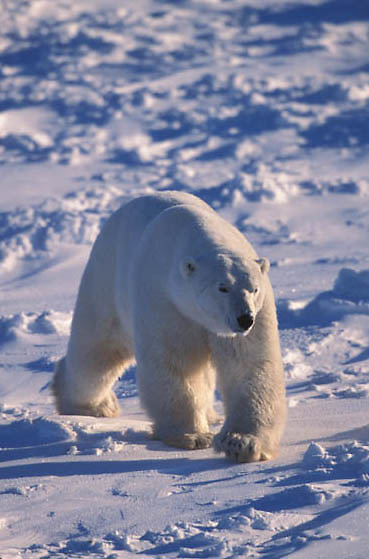 Polar Bear, (Ursus maritimus) Large male. Churchill, Manitoba. Canada.