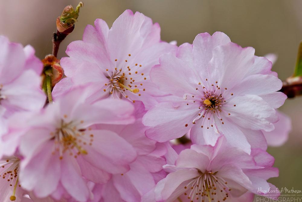 Cherry blossoms bloom each spring in the Japanese Garden of Hasselt in Limburg, Belgium