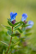 Closeup of Glaucous Gentian (Gentiana glauca) in Palmer Creek Valley in Southcentral Alaska. Summer. Afternoon.