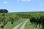 Weinberge Hagnau, Bodensee, Baden-Württemberg, Deutschland