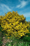 BROOM Cytisus scoparius (Fabaceae) Height to 2m<br /> Deciduous, branched and spineless shrub with ridged, 5-angled green twigs. Found on heaths and hedgerows, favouring acid soils. FLOWERS are 2cm long, bright yellow and solitary, or in pairs (Apr-Jun). FRUITS are oblong, blackening pods that explode on dry, sunny days. LEAVES are usually trifoliate. STATUS-Widespread and common.
