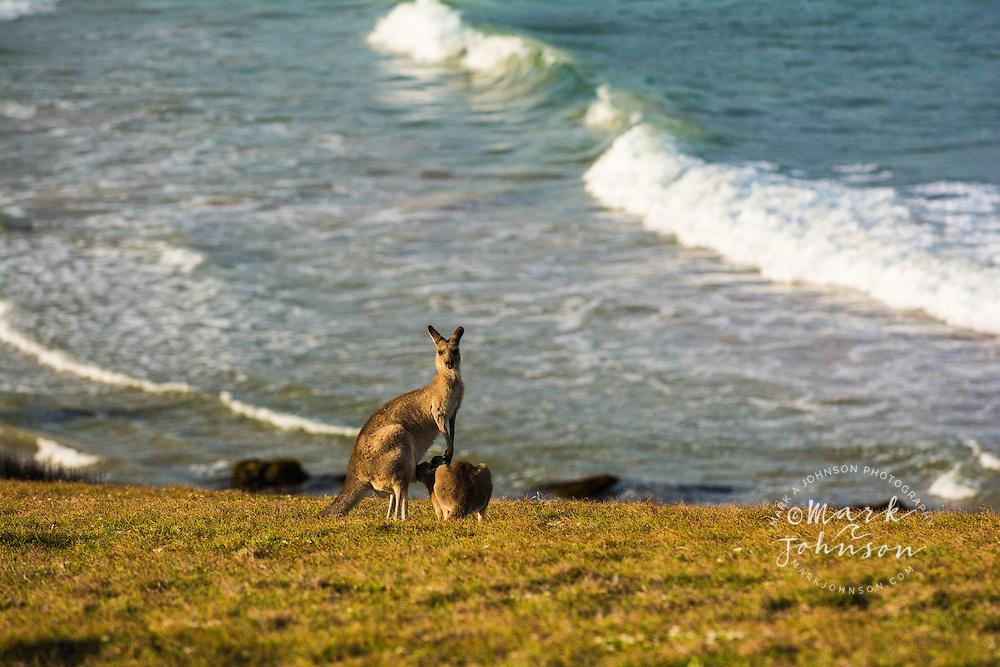 Eastern Gray Kangaroo joey feeding from mother on Look At Me Now Headland, Emerald Beach, Coffs Harbor, NSW, Australia