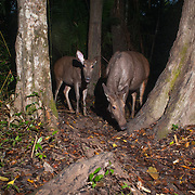 The sambar (Rusa unicolor) is a large deer native to Southeast Asia.